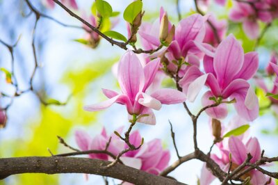 Canvas print Magnolia flowers in the park