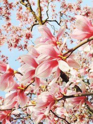 Canvas print magnolia tree blossom