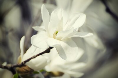 Canvas print Magnolia white  flowers