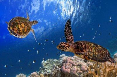 Canvas print Maldivian Sea Turtle Floating