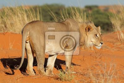 Male African lion (Panthera leo) on a red sand dune, Kalahari desert, South Africa.