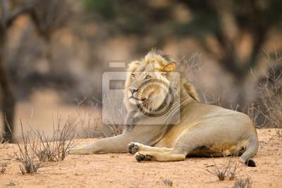 Male African lion (Panthera leo) resting in natural habitat, Kalahari desert, South Africa.