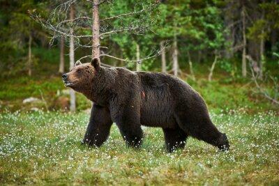 Canvas print Male brown bear