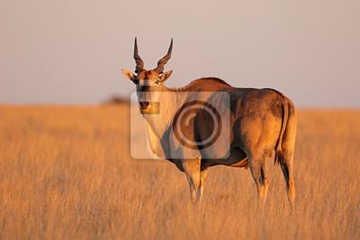 Male eland antelope (Tragelaphus oryx) in late afternoon light, Mokala National Park, South Africa.