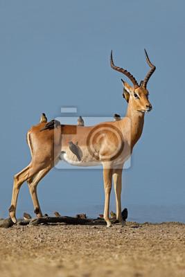 Male impala antelope (Aepyceros melampus) with oxpecker birds, Kruger National Park, South Africa.