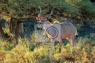 Canvas print Male kudu antelope (Tragelaphus strepsiceros) in natural habitat, South Africa.