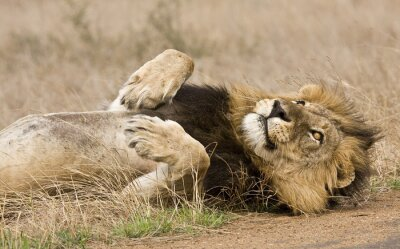 Canvas print male lion lying down in the bush, Kruger, South Africa