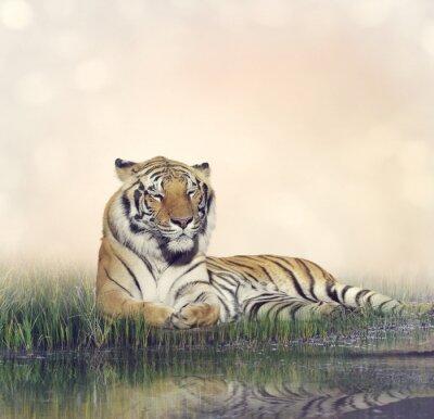 Canvas print Male Tiger Resting
