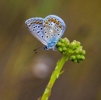 Canvas print mariposa azul en la flor