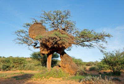Massive communal nest of sociable weavers (Philetairus socius) in a thorn tree, South Africa.