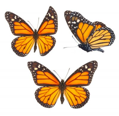 Canvas print Monarch butterfly