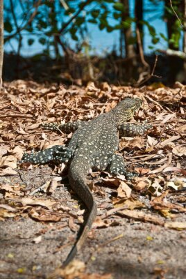 Canvas print Monitor Lizard in the Whitsundays