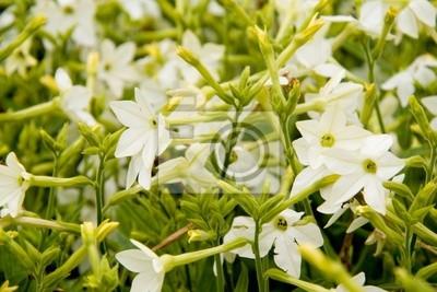 Nicotiana Ziertabak sanderae