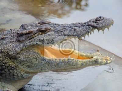 Nile crocodile ( Crocodylus niloticus )