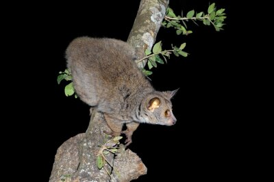 Nocturnal greater galago or bushbaby (Otolemur crassicaudatus) in a tree, South Africa.