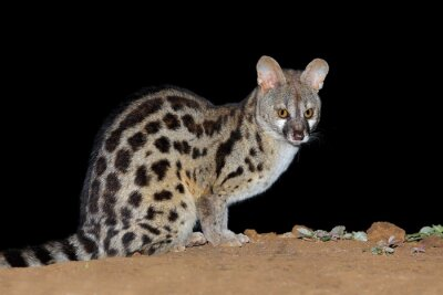 Nocturnal large-spotted genet (Genetta tigrina) in natural habitat, South Africa .