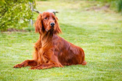 Canvas print Obedient nice irish setter laying and waiting