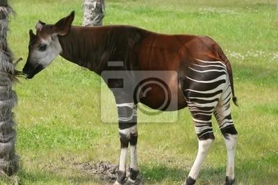 Canvas print okapi