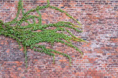 Canvas print Old red brick wall overgrown with ivy