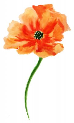 Canvas print Orange poppy. Watercolor painting, isolated on white background