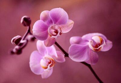 Canvas print Orchidea - Storczyki fiolet