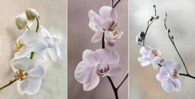 Canvas print Orchidea ( storczyki) - pastelowe