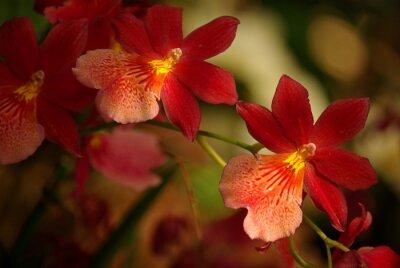 Canvas print Orchidées à fleurs rouge et jaune