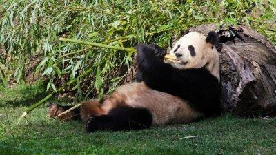 Canvas print Oso panda tumbado comiendo bambú
