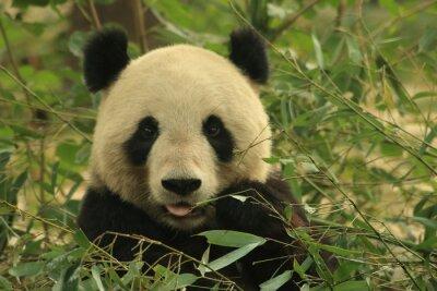 Canvas print Panda