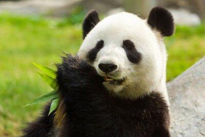 Canvas print Panda bear eating bamboo