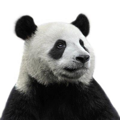 Canvas print Panda bear isolated on white background