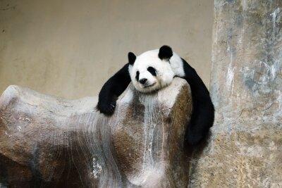 Canvas print panda bear resting
