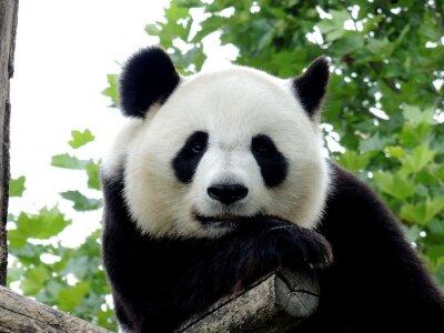 Canvas print Panda Géant 7