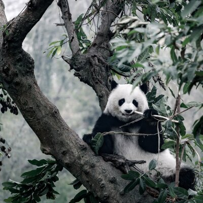 Canvas print panda on tree
