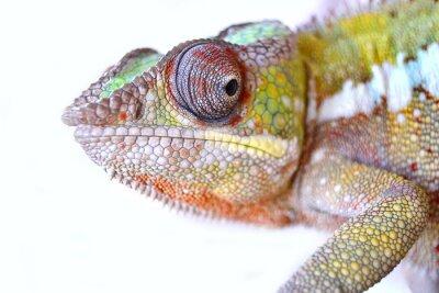 Canvas print Panther Chameleon