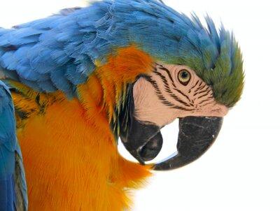 Canvas print parrot bird animal  head