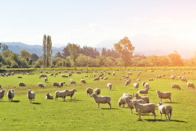 Canvas print pasture with animals in summer sunny day in New Zealand