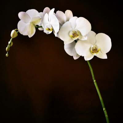 Canvas print Phalaenopsis aphrodite orchid