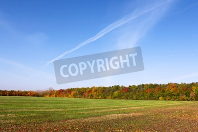 Picturesque autumn rural landscape with sowed winter wheat field, colorful forest edge and blue cloudless sky with airplanes traces