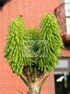 pine (fir-tree)