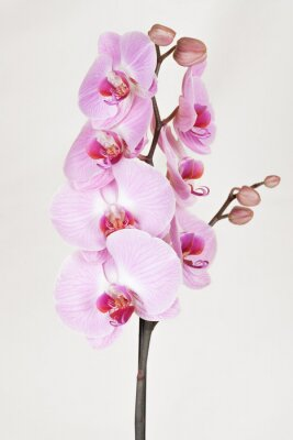 Canvas print Pink streaked orchidea