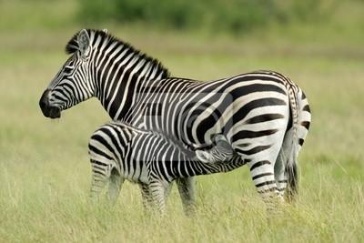 Plains ( Burchell 's) Zebra ( Equus quagga), Etosha N / P, Namibia