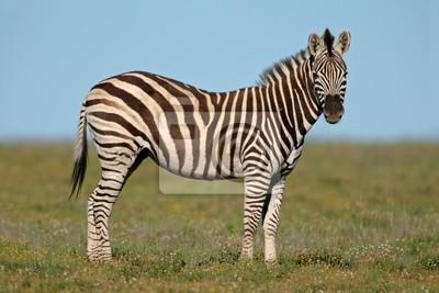 Plains (Burchell's) Zebras (Equus quagga)
