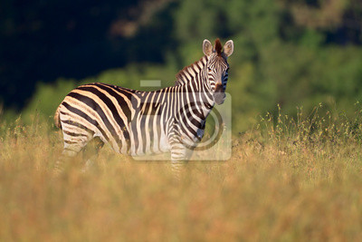 Plains (Burchells) Zebras (Equus burchelli)