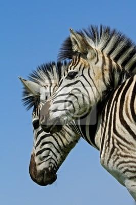 Plains Zebra (Equus quagga) portrait