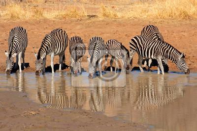 Plains Zebras drinking water, Pilanesberg National Park
