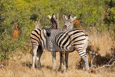 Plains zebras (Equus burchelli) in natural habitat, Kruger National Park, South Africa.