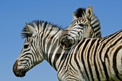Plains Zebras ( Equus quagga )