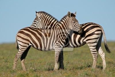 Plains Zebras (Equus zebra)