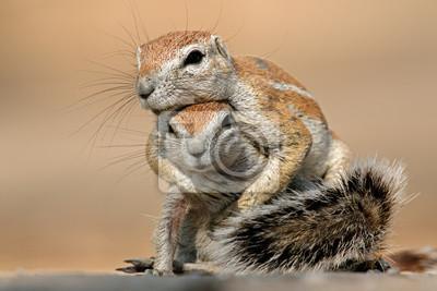 Playing ground squirrels